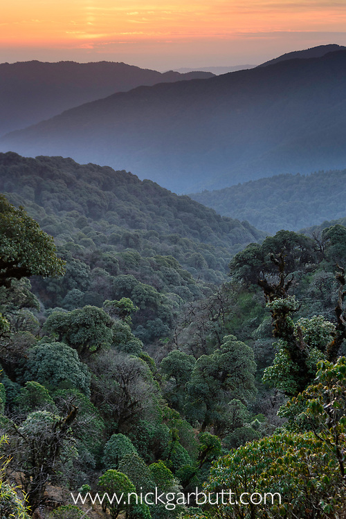 Sunrise over mid altitude temperate montane forest, Himalayan foothills, Singalila National Park, India.