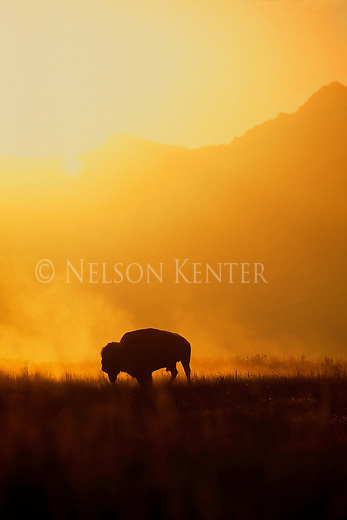 Bison silhouetted against an orange mountainside after a morning dust bath