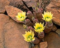 Texas Rainbow Cactus (Echinocereus pectinatus) in the Chisos Mountains; Big Bend National Park, TX