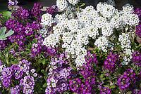 Fragrant Lobularia mixed colors white, purple, lavender Sweet alyssum
