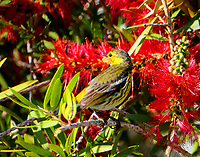 Adult male Cape May warbler in bottle brush bush