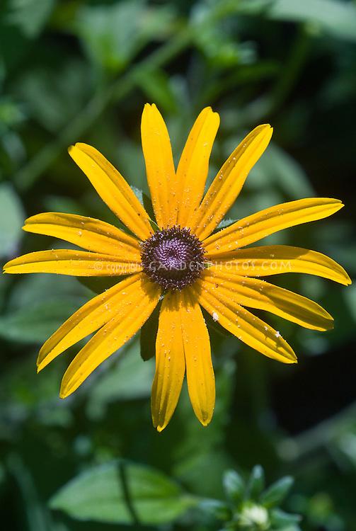 Rudbeckia fulgida 'Goldsturm' will come true from seed