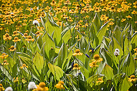 Backlit green foliage of Veratrum californicum, California corn lily (false hellebore) with yellow flower Sneezeweed in Sierra mountain wet meadow with summer wildflowers at Big Meadows, El Dorado National Forest, California