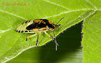 0109-0914  Green Stink Bug Nymph (Middle Instar with Several Missing Forelegs), Acrosternum hilare  © David Kuhn/Dwight Kuhn Photography