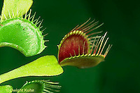 CA13-011a  Venus Fly Trap - trap opened for prey - Dioncea muscipula