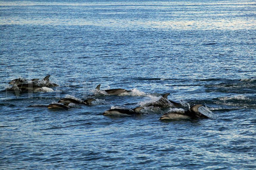 Pacific White-sided Dolphin Kenai Fjords National Park, Alaska