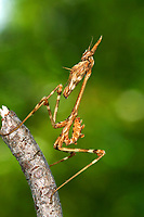 Haubenfangschrecke, Hauben-Fangschrecke, Fangschrecke, Lave, Nymphe, Empusa pennata, conehead mantis, lava, larvae, L'Empuse commune, Fangschrecken, Empusidae, Mantodea