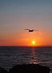 Dungeness Spit lies along the horizon in this image across Dungeness Bay from Sequim, Wa. at sunset as a lone gull hunts dinner. Olympic Penninsula, Washington.  Outdoor Adventure. Olympic Peninsula
