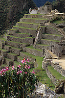 Machu Picchu, Peru - Flowers, looking toward Hitching Post of the Sun