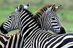 Two Burchell's zebras stand side-by-side in Kenya.
