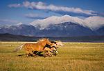 Mustangs running free in the Sierra Nevada, California