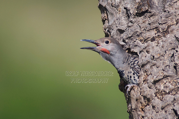 Northern Flicker,Colaptes auratus,Red-shafted form,young in nesting cavity calling, Rocky Mountain National Park, Colorado, USA