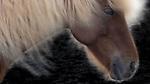 Iceland , Icelandic horse