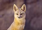 Foxes_BT_FB
