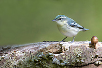 Cerulean Warbler (Setophaga cerulea), female in breeding plumage foraging on its breeding territory at Doodletown, Bear Mountain State Park, New York.