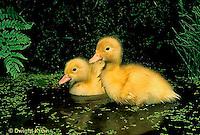 DG10-008x  Pekin Duck - four day old ducklings swimming