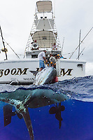 The crew of sport fishing boat Boom Boom pull up their catch, a giant marlin, off the coast of O'ahu.