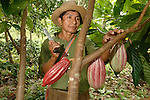 A Mayan cacao farmer, tending to his tree in a rainforest in southern Belize.  The tree, planted five years ago, produced it's first saleable caco in 2007. Southern Belize  is the heartland of traditional Mayan cacao production.  Local farmers sell their organic, rainforest-grown cacao at premium prices to Cadburys.  Cacao is one of the few cash crops in the poor region. Belize cacao  is the main ingredient in Cadbury's premium organic chocolate bar, Mayan Gold.