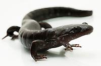 Blue-Spotted Salamander.Ambystoma laterale