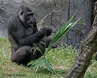 0210-08uu  Western Lowland Gorilla, Gorilla gorilla gorilla © David Kuhn/Dwight Kuhn Photography