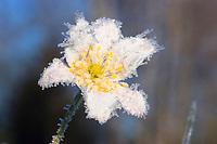 Wood Anemone with whitefrost, Anemone nemorosa