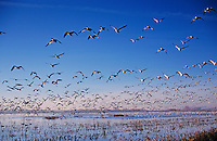 Snow Goose, Chen caerulescens,flock in flight, Bosque del Apache National Wildlife Refuge , New Mexico, USA, December 2003