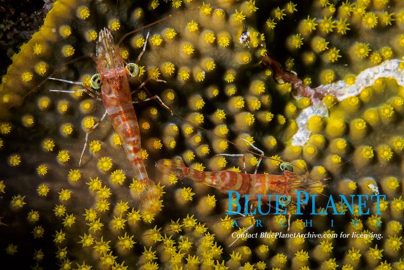 hingebeak shrimps, Rhynchocineles sp., Aldabra Atoll, Natural World Heritage Site, Seychelles, Indian Ocean