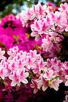 Azalea flowering shrubs bloom in Charlotte, NC. Azaleas, which are part of the rhododendron genus, are popular plants in North Carolina.