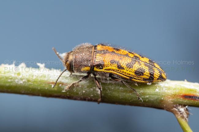 Metallic Wood-boring Beetle (Acmaeodera gillespiensis)