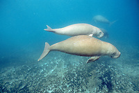 dugong or sea cow, Dugong dugon, mother and calf, Shark Bay, Australia