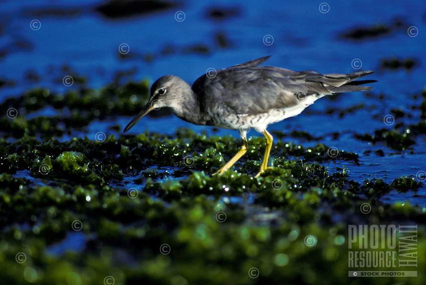 Ulili, wandering tattle, native migratory bird