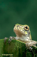 FR10-027c  Gray Tree Frog - Hyla versicolor