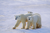 Polar bear female wih two young cubs.(Ursus maritimus)
