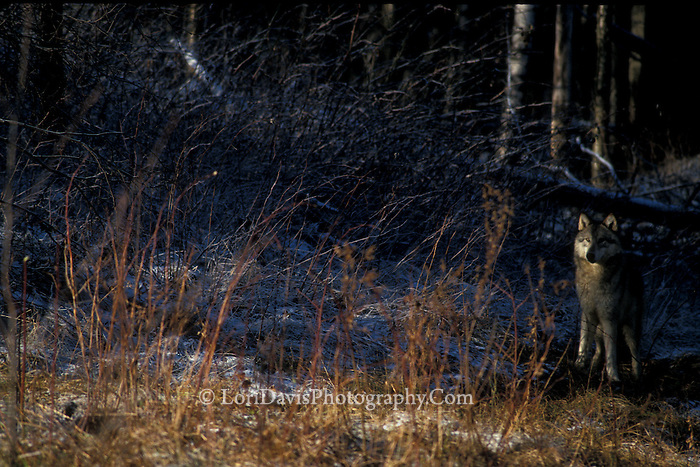 Wolf in Shadows