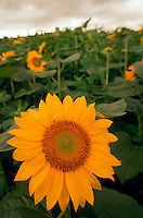 Close up of sunflowers in a fiels under stormy skies. Japan.