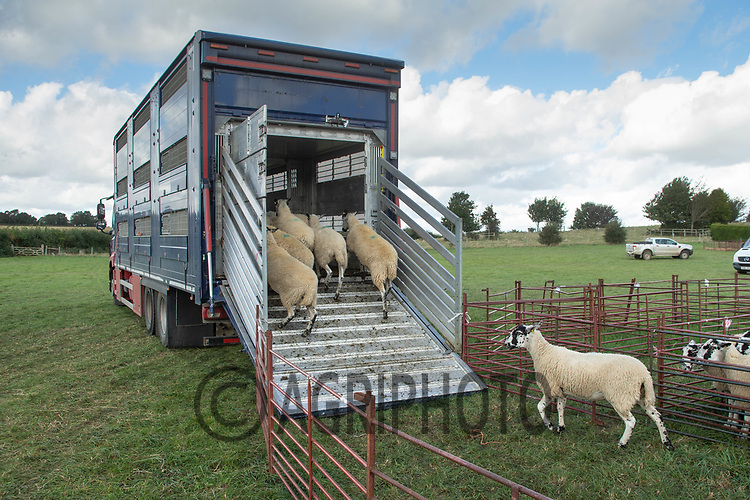 4-10-2021 Loading breeding sheep onto a lorry after an auction <br /> ©Tim Scrivener Photographer 07850 303986<br />      ....Covering Agriculture In The UK....