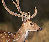 The chital, or spotted deer, is the most common deer species seen in many of India's tiger parks.