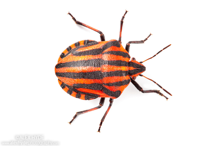 Italian Striped-Bug / Minstrel Bug {Graphosoma lineatum} showing bold black and orange warning colours (aposematism) that warn of its foul taste. Photographed on a white background. Aosta Valley, Monte Rosa Massif, Pennine Alps, Italy. July.