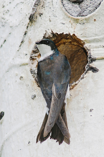 Tree Swallow,Tachycineta bicolor,adult female at nesting cavity in aspen tree, Rocky Mountain National Park, Colorado, USA, June 2007