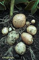 HS05-018a   Potato - growing underground, kennebec variety