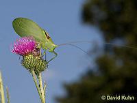 0815-0914  Common True Katydid (Northern True Katydid), Pterophylla camellifolia © David Kuhn/Dwight Kuhn Photography