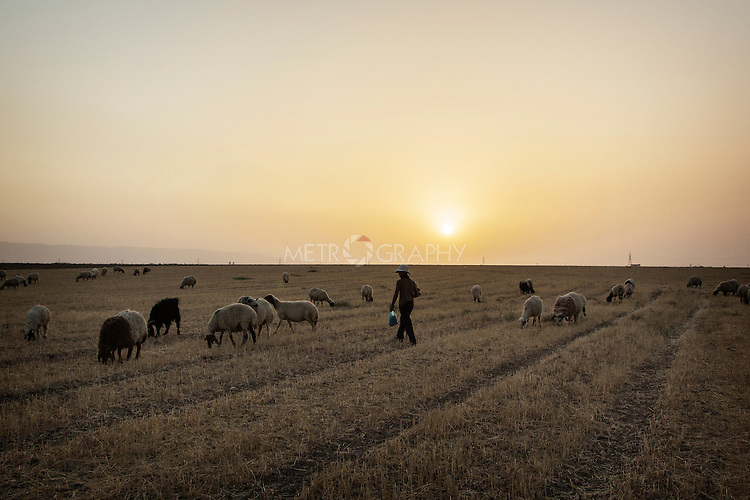 04/07/2015 -- Dibaga-Makhmur-, Iraq --  Ali Ahmed 13 Y.O, a displaced boy from Jarallah village, grazes the sheep in Dibaga. The sheep were given to them by the owner of the farm, a Kurdish man that prefers to remain anonymous.