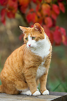 Tiger tabby cat sitting on picnic table with red fall leaves behind, looking uncertain, and watching with concern