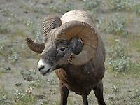 Big Horn Sheep Jasper National Park. Head shots.