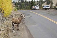 Bighorn Sheep, Mountain Sheep, Ovis canadensis, young male on road near Tower fall, Yellowstone NP,Wyoming, September 2005