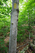 Blaze removal along the Mt Tecumseh Trail in the White Mountains of New Hampshire. This beech tree was improperly blazed in 2011. And in 2012 Proper parties removed the dripping blaze (bottom blaze) using proper protocol. In time, the removed blaze will fade and not be visible. This is how the tree looked in July 2013. See how it looked before removal: http://bit.ly/12ECXJz