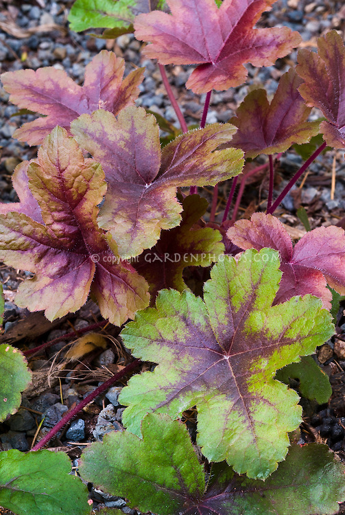 Heucherella Brass Lantern perennial foliage plant changing from green to copper color in autumn fall