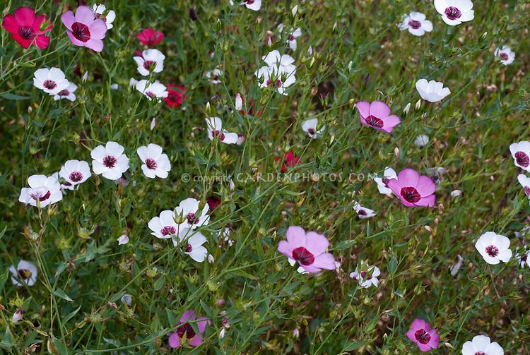 Linum grandiflorum Bright Eyes - pink ones are Linum grandiflorum rubrum