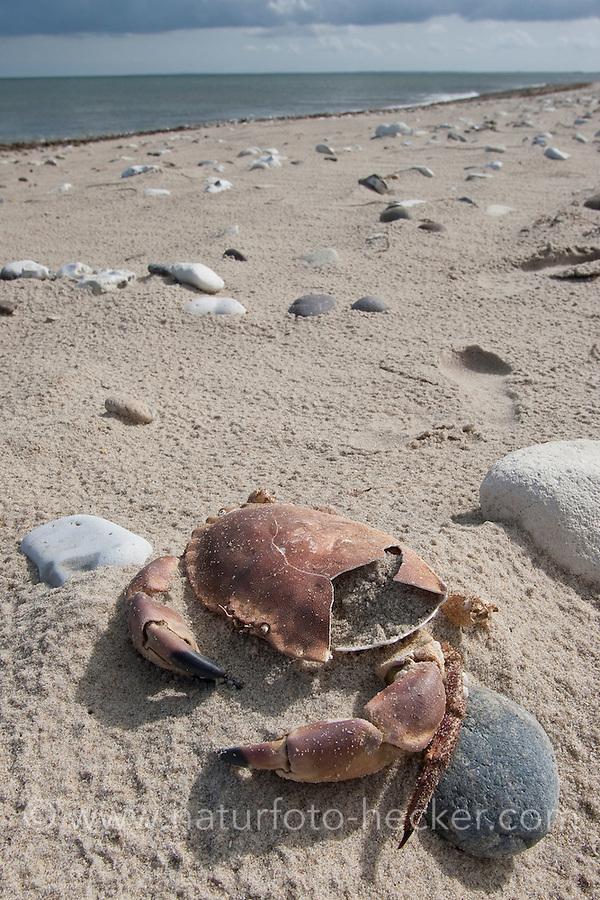 Taschenkrebs, toter Krebs, Panzer, Carapax im Angespül auf Strand, Krebspanzer, Cancer pagurus, European edible crab