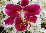 Lilium 'Star Gazer' (Oriental Lily) with hydrangea blossoms in the background